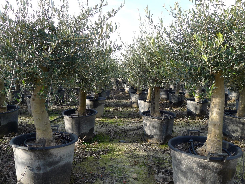 Een olijfboom voor in de tuin!